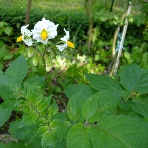 Photographie n°696635 du taxon Solanum tuberosum L.