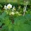 Yoan Martin - Solanum tuberosum L.