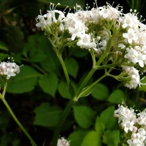 Photographie n°696645 du taxon Valeriana officinalis L.
