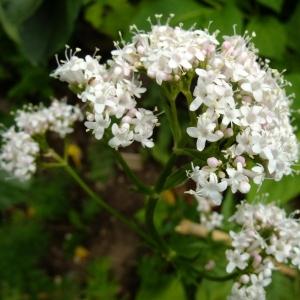 Photographie n°696646 du taxon Valeriana officinalis L.