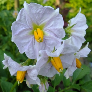 Photographie n°696892 du taxon Solanum tuberosum L.