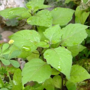 Photographie n°697066 du taxon Solanum americanum Mill.