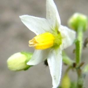 Photographie n°697067 du taxon Solanum americanum Mill.