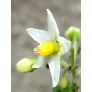Solanum americanum Mill. (Morelle d'Amérique)