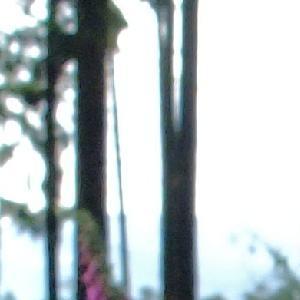 Photographie n°697068 du taxon Digitalis purpurea L.