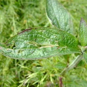 Photographie n°697075 du taxon Digitalis purpurea L.