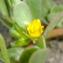 Yoan Martin - Portulaca oleracea L.