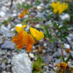 Photographie n°697168 du taxon Lotus alpinus (DC.) Schleich. ex Ramond