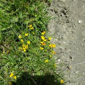Photographie n°697317 du taxon Lotus alpinus (DC.) Schleich. ex Ramond