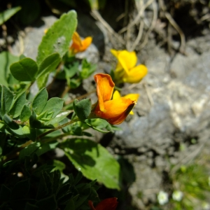 Photographie n°697318 du taxon Lotus alpinus (DC.) Schleich. ex Ramond