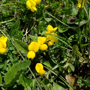 Photographie n°697319 du taxon Lotus alpinus (DC.) Schleich. ex Ramond