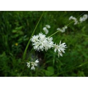 Juncus luzuloides Lam. (Luzule blanchâtre)