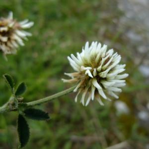 Photographie n°697573 du taxon Trifolium montanum L.