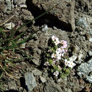 Photographie n°697703 du taxon Androsace alpina (L.) Lam.