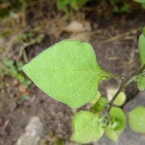 Photographie n°697930 du taxon Solanum americanum Mill.