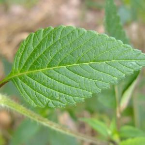 Photographie n°697931 du taxon Galeopsis tetrahit L.