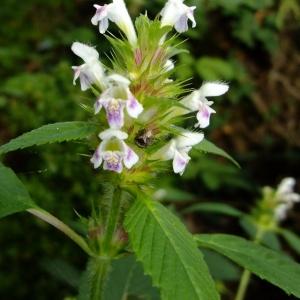 Photographie n°697933 du taxon Galeopsis tetrahit L.