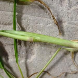 Photographie n°697966 du taxon Echinochloa crus-galli (L.) P.Beauv.