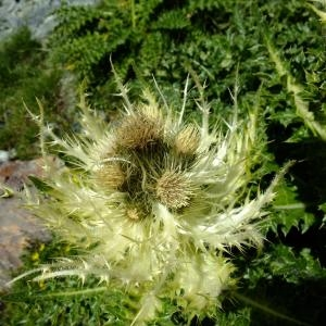 - Cirsium spinosissimum (L.) Scop. [1769]