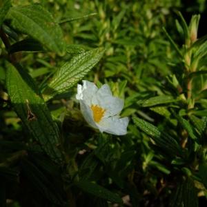 Photographie n°698422 du taxon Cistus monspeliensis L.