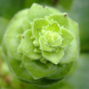 Photographie n°698619 du taxon Aeonium castello-paivae Bolle