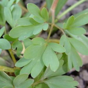 Photographie n°698822 du taxon Corydalis solida (L.) Clairv.