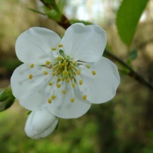 - Prunus avium (L.) L. [1755]