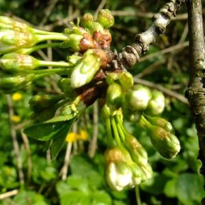 - Prunus avium (L.) L.
