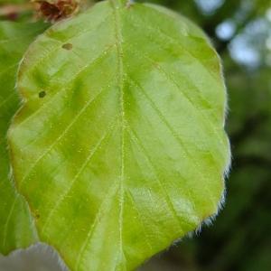 Photographie n°699171 du taxon Fagus sylvatica L.