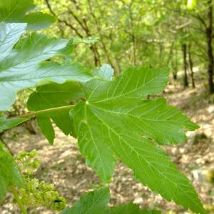Photographie n°699198 du taxon Acer pseudoplatanus L.