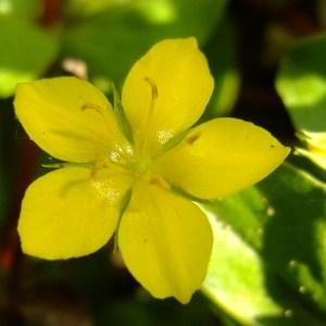 Photographie n°699421 du taxon Lysimachia nemorum L.