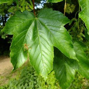 Photographie n°699490 du taxon Acer pseudoplatanus L.