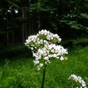 Photographie n°699670 du taxon Valeriana officinalis L.
