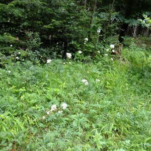 Photographie n°699671 du taxon Valeriana officinalis L.
