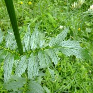 Photographie n°699672 du taxon Valeriana officinalis L.