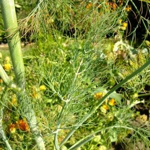 Photographie n°699824 du taxon Anethum graveolens L.