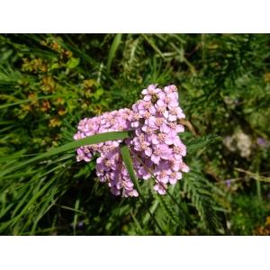 Achillea distans Waldst. & Kit. ex Willd. (Achillée distante)