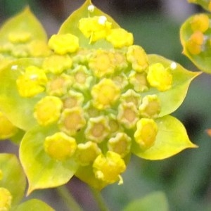 Photographie n°700132 du taxon Bupleurum ranunculoides L.