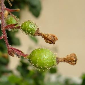 Photographie n°700344 du taxon Ribes sanguineum Pursh