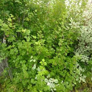 Photographie n°700345 du taxon Ribes sanguineum Pursh