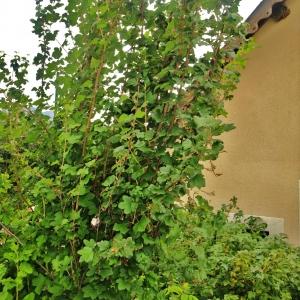 Photographie n°700347 du taxon Ribes sanguineum Pursh