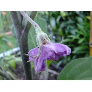 Solanum incanum L. (Aubergine)