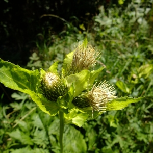 - Cirsium oleraceum (L.) Scop.