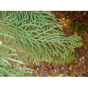 x Cuprocyparis leylandii (A.B.Jacks. & Dallim.) Farjon (Cyprès de Leyland)