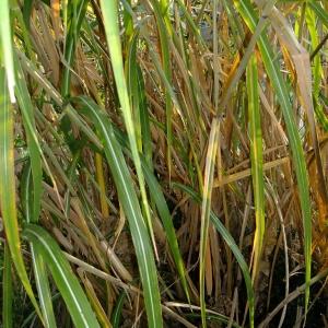 Photographie n°700833 du taxon Phragmites australis (Cav.) Trin. ex Steud.