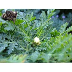 Gonospermum revolutum Sch.Bip.