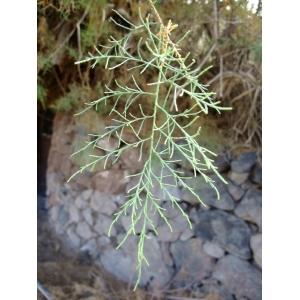 Tamarix canariensis Willd. (Tamaris des Canaries)