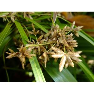 Cyperus involucratus Rottb. (Souchet)
