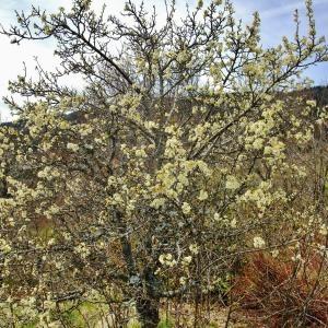 Photographie n°703351 du taxon Prunus cerasifera Ehrh.