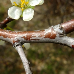 Photographie n°703352 du taxon Prunus cerasifera Ehrh.